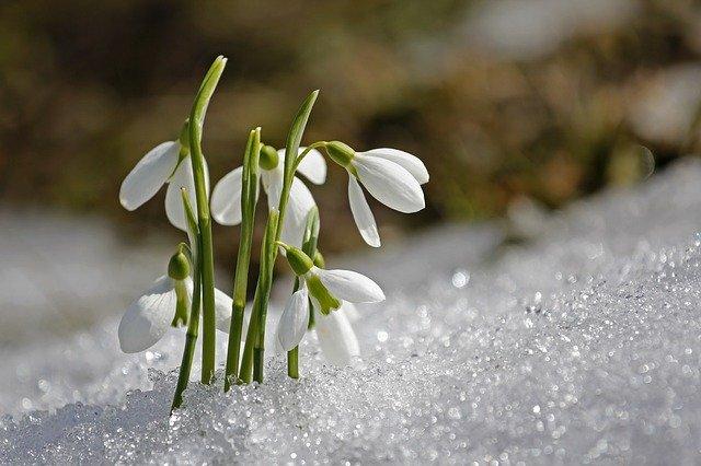 sněženka pod sněhem